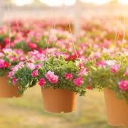 Plantes ornementales en pot